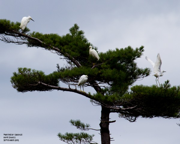 Snowy egrets in a tree.