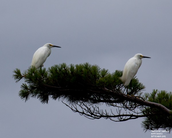 A pair of snowy egrets at Bates-Morse Mountain Conservation Area in Phippsburg