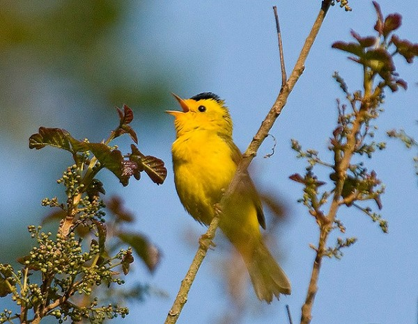 Wilson's Warbler by Doug Greenberg