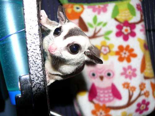 Fiver the sugar glider, one animal in Island Gliders' six breeding pairs.