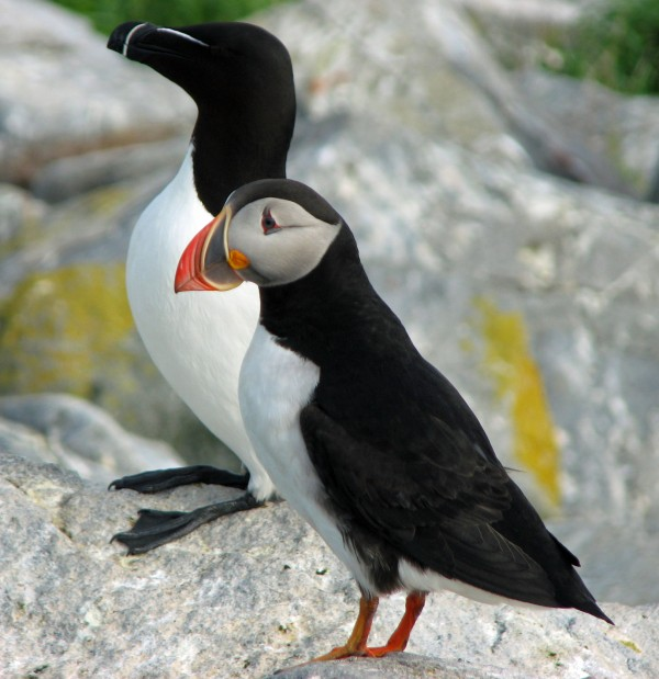 A razorbill (left) and a puffin are among the birds you might see on trips to Canada.