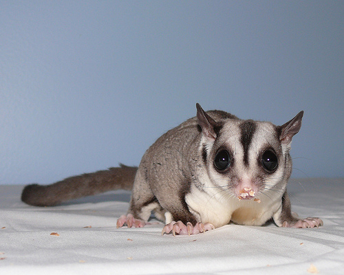 Lotus the sugar glider, one animal in Island Gliders' six breeding pairs.