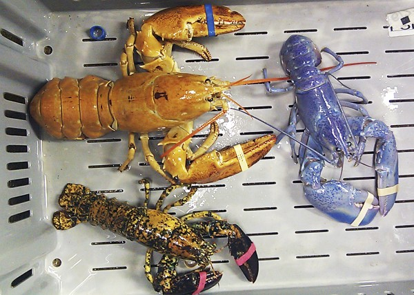 This photo provided by Rebecca McAleney shows a bright orange, left, a bright blue, right, and a calico  lobster at New Meadows Lobster in Portland, Maine, Tuesday, June 26, 2012.