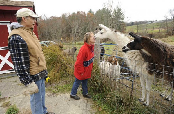 Bruce and Lindy Gallup of Swiftwater Farm in Turner get some affection from their llamas, the &quotwatchdogs&quot of their sheep herd.