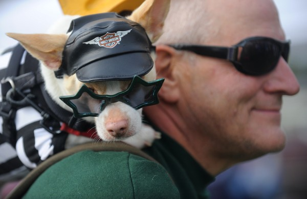 Dressed in a biker costume, Pokey Joe, a 7-year-old Chihuahua, sits on the shoulder of his owner, Mongo Schwarz of Bangor, as he walks their bike along Bangor's waterfront during the Bangor Humane Society's 19th annual Paws on Parade event Saturday, Oct. 6, 2012.