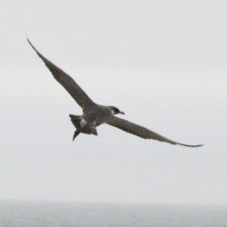 Mainers enjoy spectacle of pelagic birding