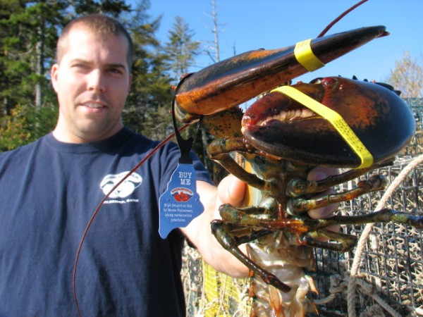 Chad Dorr of Dorr Lobster Co. in Milbridge holds up a lobster on Oct. 21, 2012, with one of the company's tags hanging off the lobster's claw.