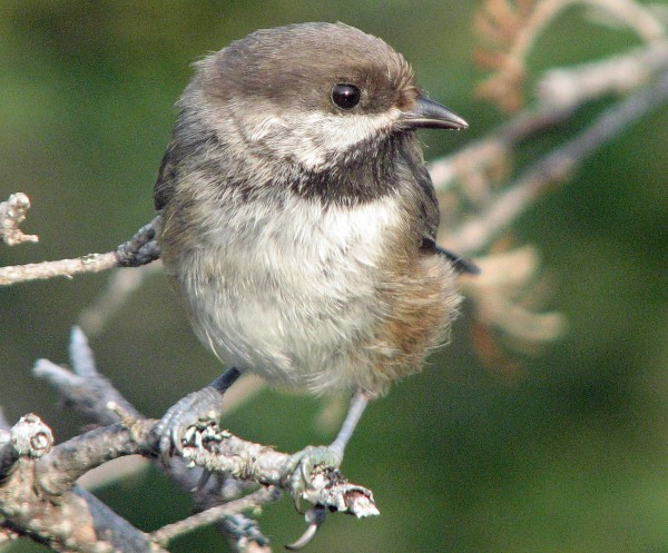 Boreal chickadees are spruce forest specialists and can be found wherever there is a good concentration of spruce trees. Their range barely dips across the border from Canada into the U.S., but are easy to find in Aroostook County.