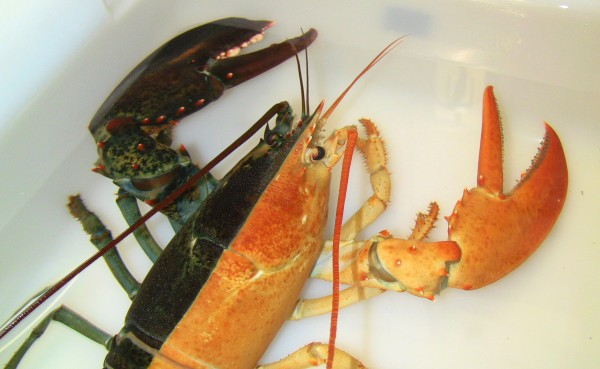 This image released by the New England Aquarium shows a one-pound female lobster, known as a &quotsplit,&quot that was caught by a Massachusetts fisherman last week and arrived at the aquarium in Boston on Wednesday, Oct. 31, 2012. Officials say such rare Halloween coloration is estimated to occur once in every 50 million lobsters.