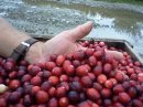 Maine's cranberry growers find their healthy product under siege