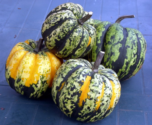 No two Carnival winter squash look alike with their splashes of color.