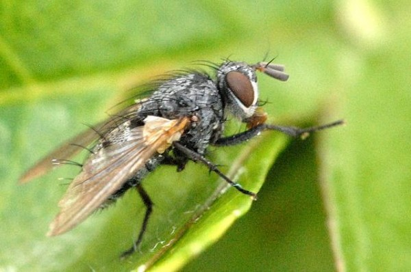 Parasitic flies like the one pictured here in a Wikipedia Commons photograph by James Lindsey of Ecology of Commanster will be released into the forests of Harpswell in the spring in an effort to control the invasive winter moth population.