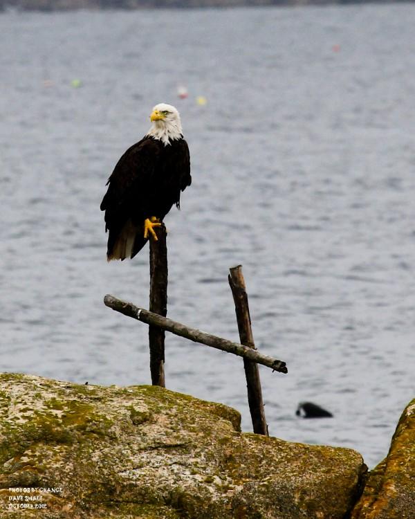 A bald eagle at Petit Manan National Wildlife Refuge.