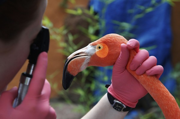 A veterinarian uses a light to check on the eye of an American Flamingo at the Oklahoma City Zoo in Oklahoma City, Thursday, Oct. 4, 2012, during an annual exam.