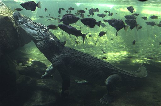 A 0.7 ton crocodile called Rex calmly waits just beneath the water for a feed after coming out of a three-month hibernation at the WILD LIFE Sydney zoo in Sydney, Australia on Wednesday, Oct. 3, 2012.