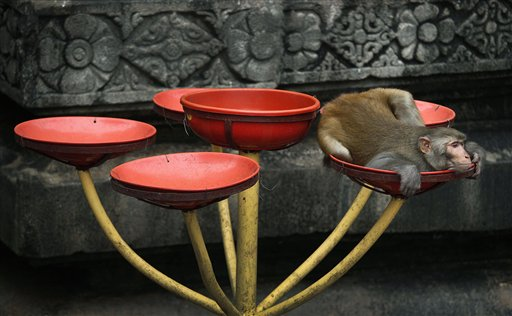 A monkey rests inside in a bowl where food is offered by devotees for birds and monkeys at the Kamakhya temple in Gauhati, India on Tuesday, Oct. 16, 2012.  Kamakhya temple honors the Mother Goddess Kamakhya, the essence of female energy, and is believed to be the highest seat of Tantra or Hindu esoteric rituals.