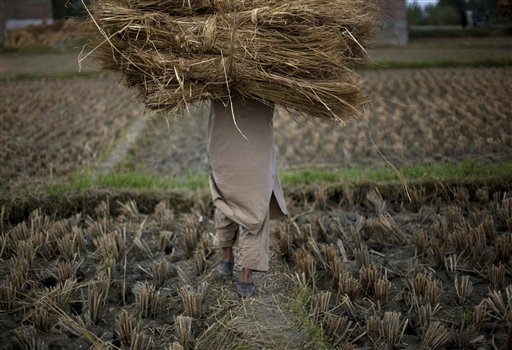 A Kashmiri Muslim villager carries stacks of hay after a paddy harvest in Beerwah, some 24 miles northwest of Srinagar, India on Wednesday, Oct. 3, 2012.
