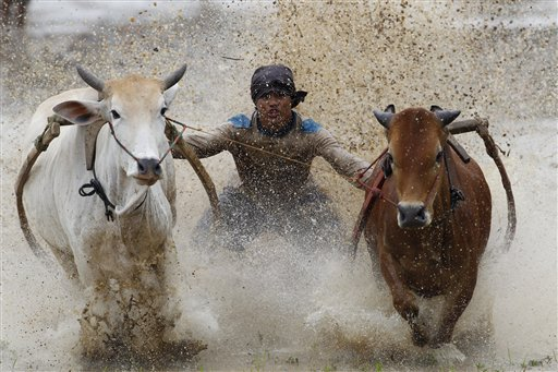 A man takes part in racing Pacu Jawi or &quotmud cow racing&quot in Padang Pajang, West Sumatra, Indonesia on Saturday, Oct 13, 2012. The Sumatran sport of Pacu Jawi is held at the end of each rice harvesting season by the Minangkabau people in West Sumatra, Indonesia. The activity sees farmers cling onto crude wooden frames attached to two cows, which they then encourage to race through a muddy paddy field. With their hands busy holding on tight, jockeys encourage their steeds to go faster by biting their tails.