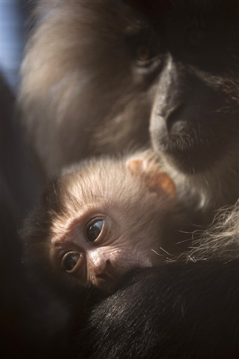 In this picture taken through a fence, a 2-week-old lion-tailed macaque clings to his mother Yana, at the Ramat Gan safari near, Tel Aviv, Israel on Wednesday, Oct. 31, 2012. Three monkeys were born in the last three weeks at the safari.