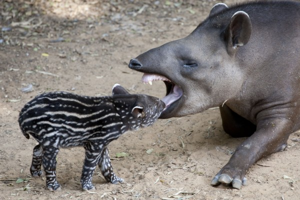 A four-day-old male Brazilian tapir cub interacts with his mother Passiflora in an outdoor enclosure at Ramat Gan Safari near Tel Aviv, Israel,Tuesday, Oct. 9, 2012. The tapir cub is the first male cub to be born in the Safari.