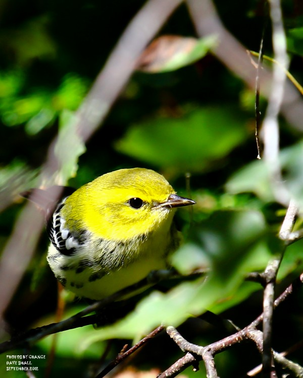 A black-throated green warbler