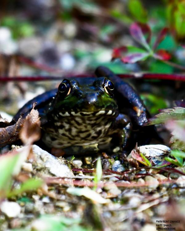 A bullfrog