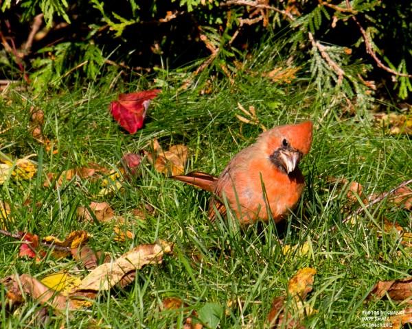 A cardinal in the backyard.