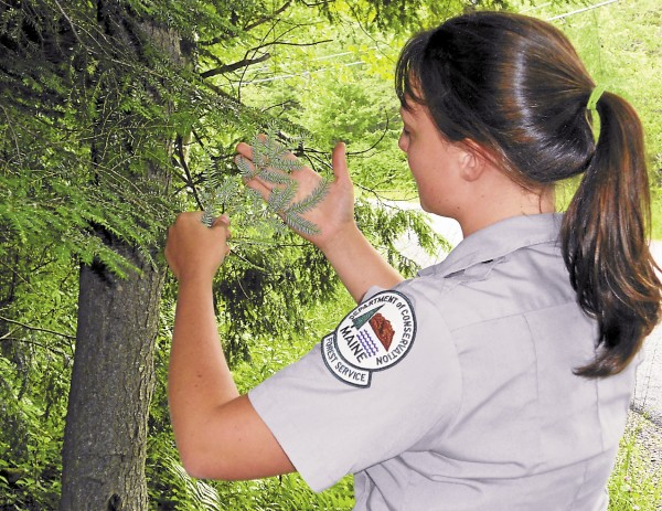 Helen Birkin, an entomology assistant with the Maine Forest Service, helps conduct a woolly hemlock adelgid survey.
