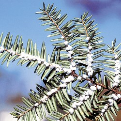Invasive hemlock insect found in Kittery Point