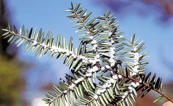 The wool-like waxy filaments lining the underside of this hemlock branch contain maturing hemlock woolly adelgids, an inspect pest gradually extending its range along the Maine coast.