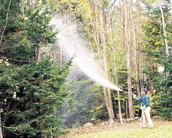 A Maine Forest Service employee sprays a pesticide on hemlocks in York to control the hemlock woolly adelgid. Chemical control is one method for reducing adelgid numbers.