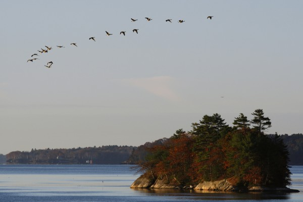 A gaggle of Canada geese fly over Googins Island at Wolfe's Neck Woods State Park in Freeport.