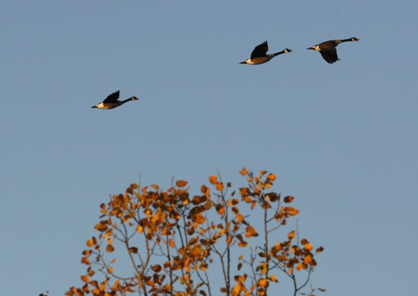 Honking Canada geese lead the way as their their southward migration takes them over Wolfe's Neck Woods State Park in Freeport.