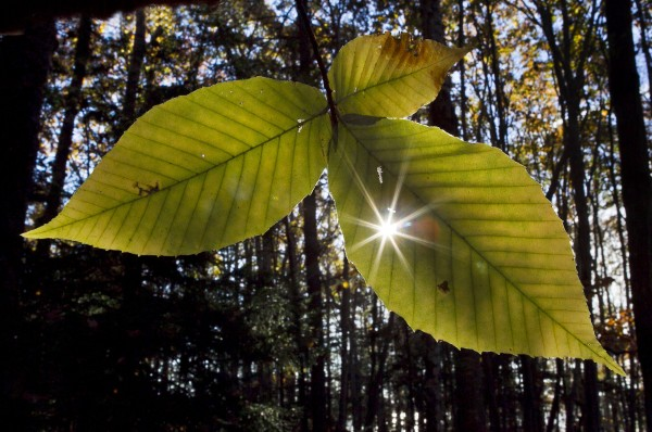 Sunlight shines through Amercian beech leaves at Wolfe's Neck Woods State Park in Freeport.