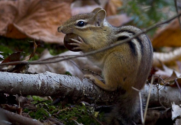A chipmunk chews an acorn at Wolfe's Neck Woods State Park in Freeport.