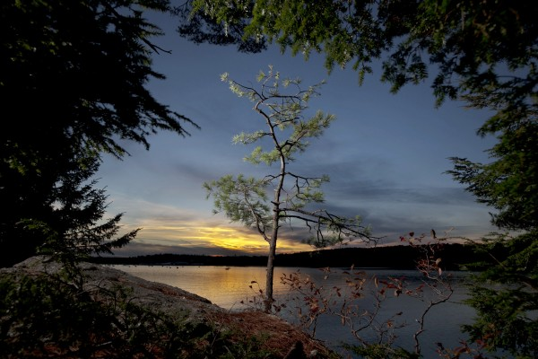 A young white pine grows from a ledge over looking the Harraseeket River at sunset at Wolfe's Neck Woods State Park in Freeport.