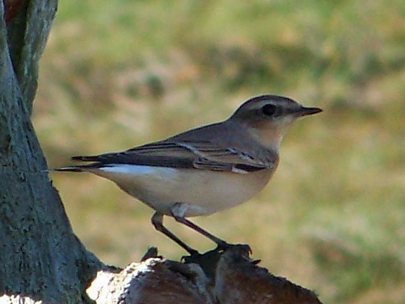 Northern wheatears are arctic breeders you wouldn't normally expect to see in Maine. One showed up in Kennebunk last week, however.