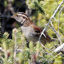 This sparrow is among the wildlife that can be found along the Orono Bog Boardwalk.