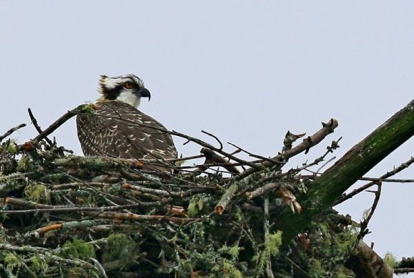 Osprey on nest by Don Cramer