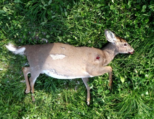 This deer was among four shot Friday or Saturday in a &quotserious poaching incident,&quot according to the Maine Department of Inland Fisheries and Wildlife.