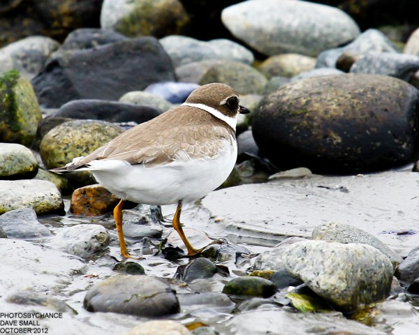 A semipalmated plover.