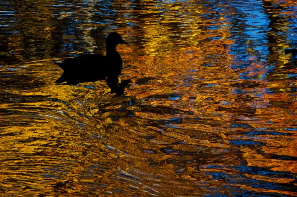 A duck paddles through an autumn reflection of foliage on the Presumpscot River between Portland and Westbrook on Monday morning, Oct. 22, 2012 near the former Riverton Trolley Park. The National Weather Service is calling for more sun this week with highs reaching 60 degrees most days.