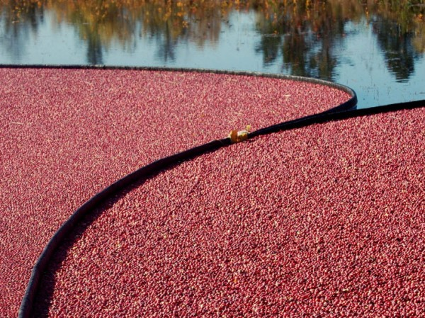 Cranberries ready to be harvested in Down East Maine.