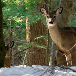 MDI town to poll residents about special hunt to deal with deer overpopulation