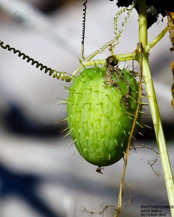 A wild cucumber.