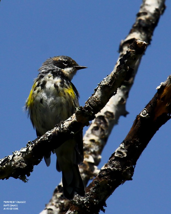 A Yellow Rumped Warbler photographed on a road off a road off the Stud Mill Road.