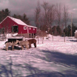 A snowy day at Christmas Farm with the Alpacas .