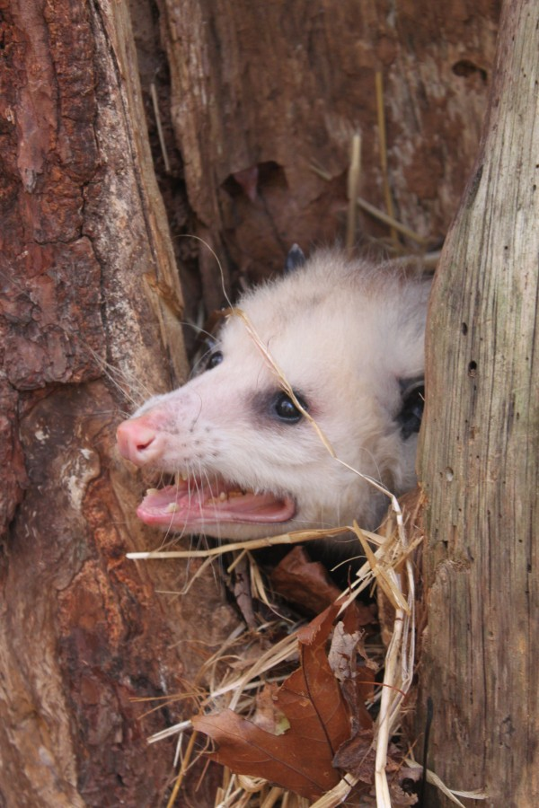 A Virginia opossum peers out of his nest in his outdoor enclosure at the Maine Wildlife Park in Gray on Oct. 22, 2012. The opossum, a nocturnal animal, would usually be asleep during the day, but it was disturbed by the visiting photographer.
