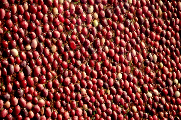 Cranberries were plentiful in some bogs in Down East Maine this fall. In other places, not so much. Spotty weather left some growers with record crops and others licking their harvest wounds.