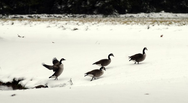 Canada Geese walk across a snowy field on outer Essex Street in Bangor on Thursday morning after the season's first snowfall.